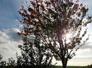 Herbstlicher Laubbaum vor leicht bewölktem Himmel.