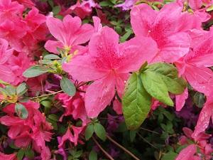 Große pinke Blüten einer Clematis.